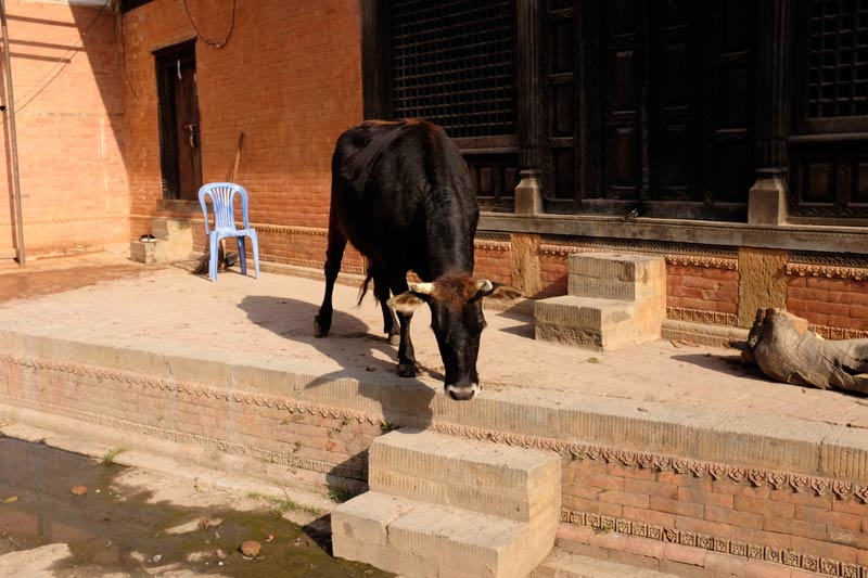 cow outside temple at pashupatinath