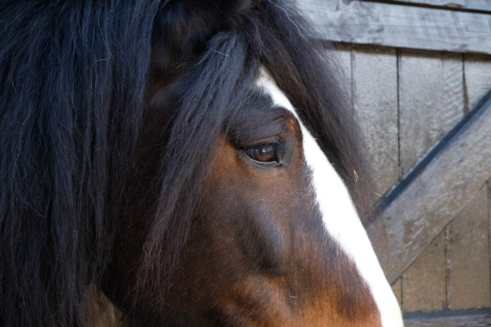 Shire horse photographed with the X-T2 I keep in my camera bag.