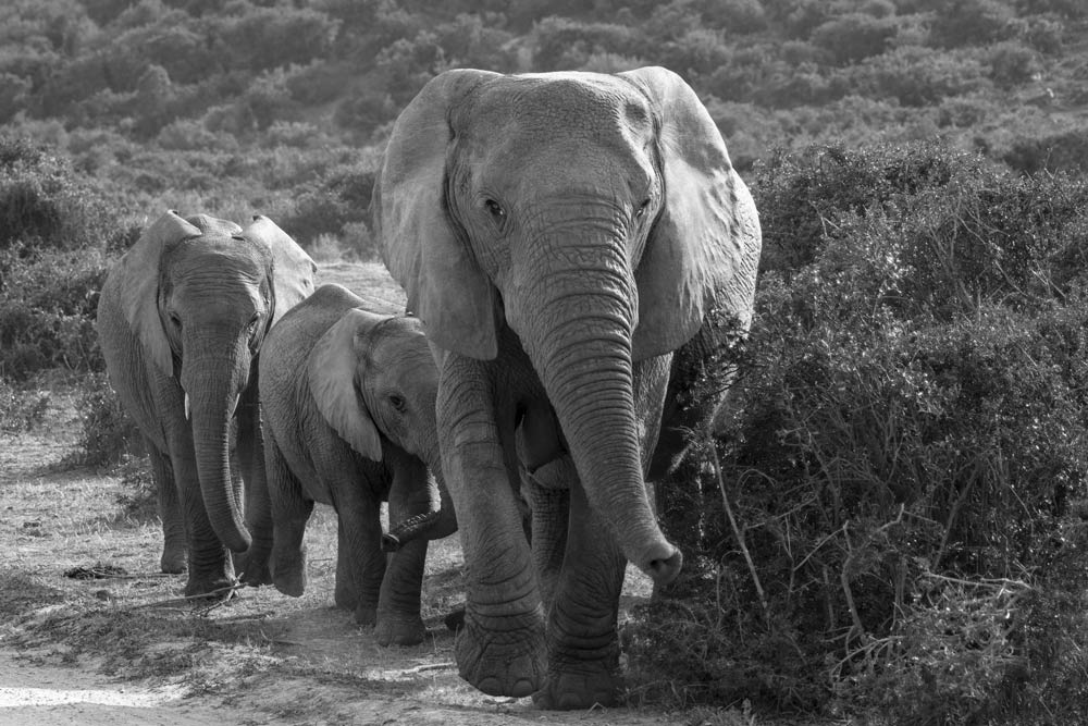 adult and two young elephants in black and white to illustrate the topic why photographs fade