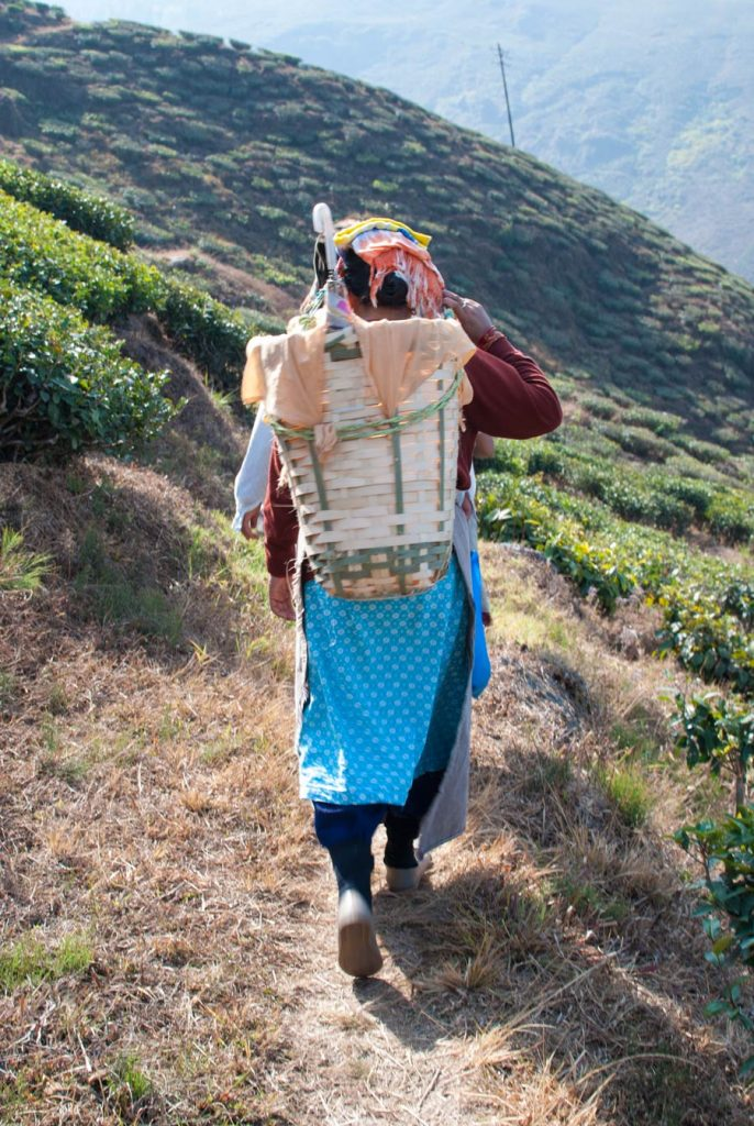 Tea picke with basket on her back, a coloured head covering and an umbrella