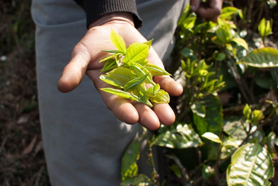 first flush tea leaves in a tea picker's open hand