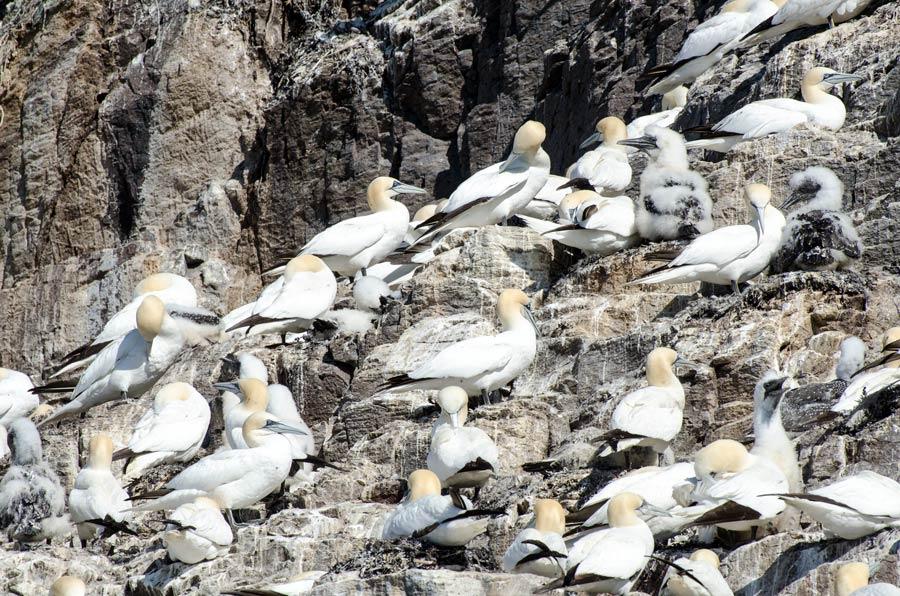 Gannets nesting on Bass Rock