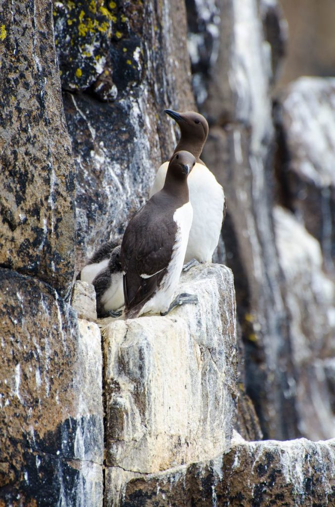 A pair of guillemots with young nesting on a cliff edge on the Isle Of May
