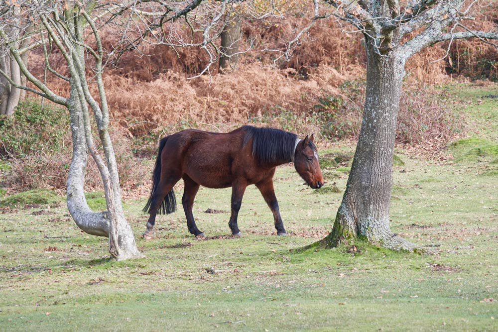 horse of the new forest with a reflective band around its neck to make it visible to traffic at night