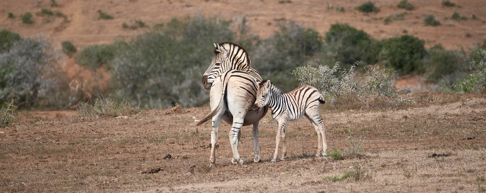 mother and young zebra