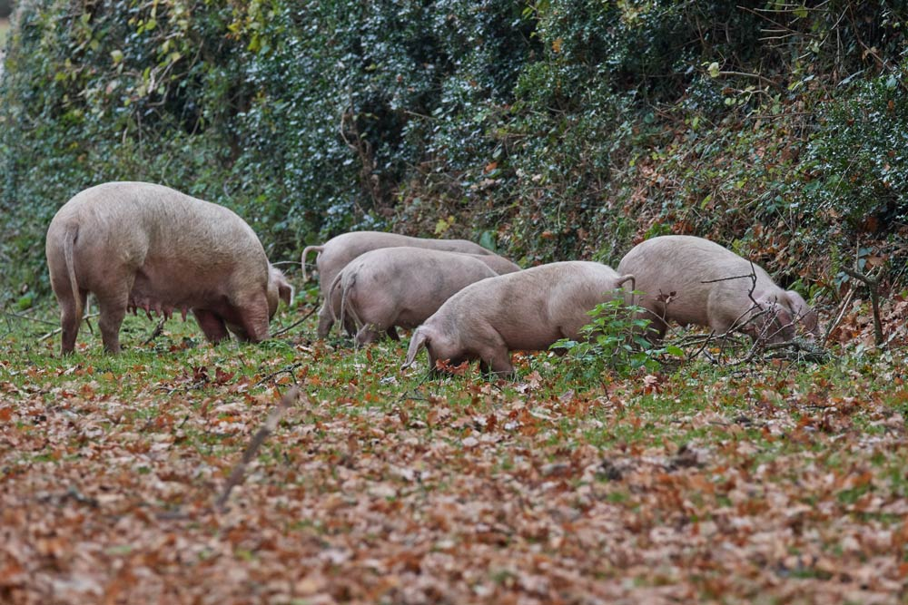 pigs in the new forest eating beechmast by the side of the road