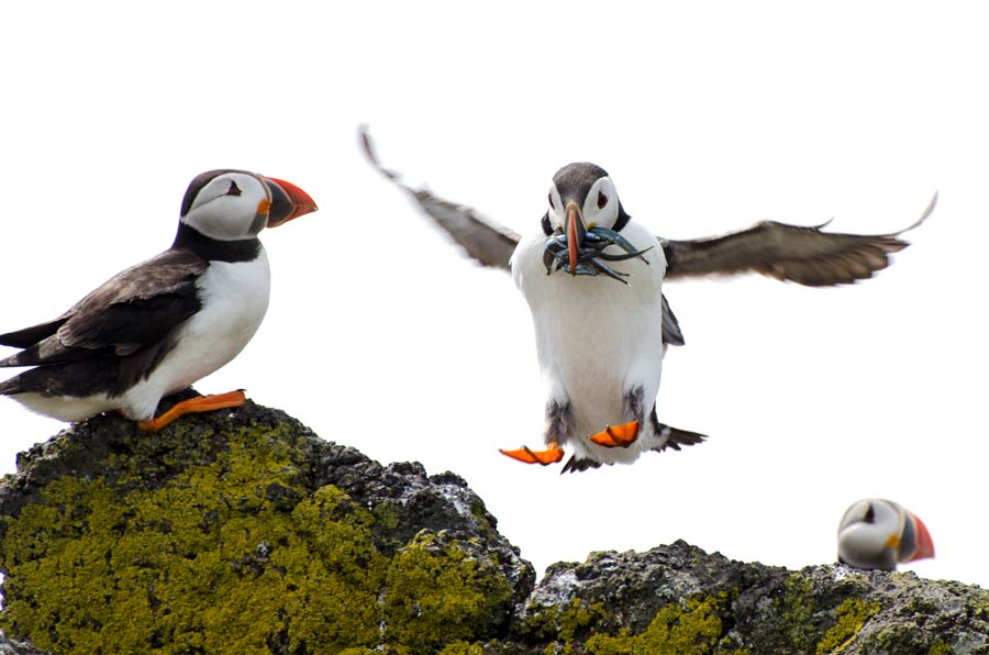 puffin coming in to land with its wings outstretched