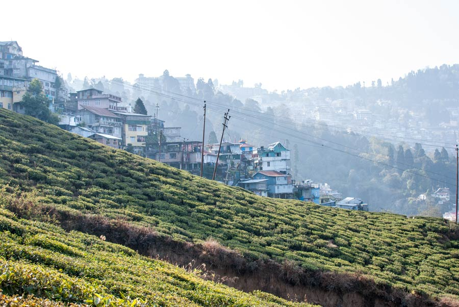 Tea bushes growing on the hillside right up the edge of town