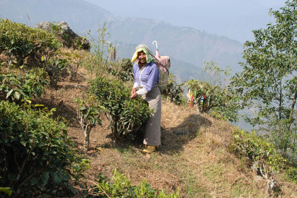 tea bushes pruned to waist height to make picking easier