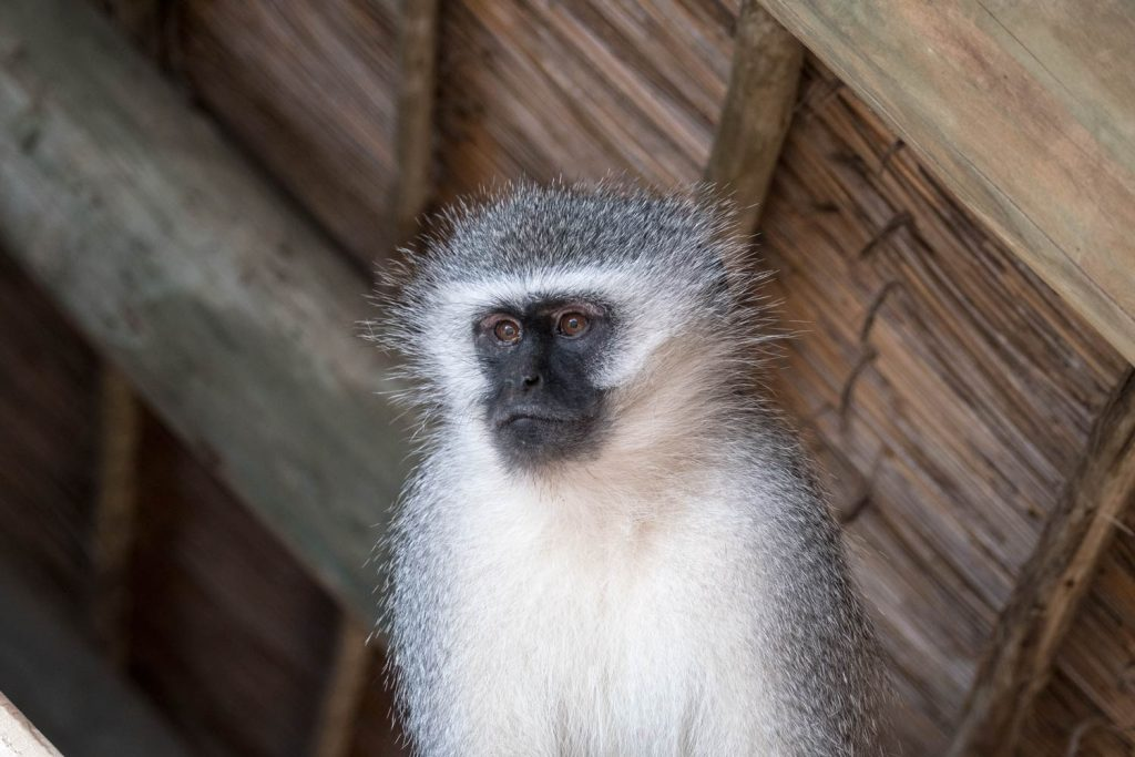 Vervet monkey looking down from the rafters of the lodge on the Eastern Cape in South Africa for Photograph Works
