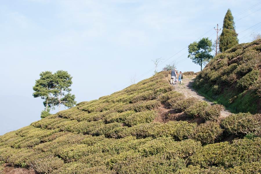 Walking to school past the tea plantations from the valleys below Darjeeling