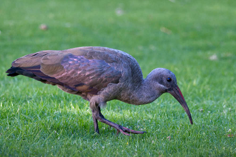 hadeda ibis on the lawn at the Belmond Mount Nelson Hotel in Cape Town