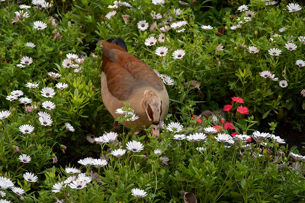 egyptian goose and young in the grounds of the Belmond Mount Nelson Hotel in Cape Town
